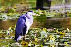 Dzika popielata czapla, Ardea cinerea na polowaniu w Rzecznym Thames/ Zdjęcie Stock