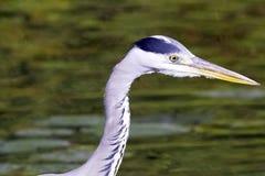 Dzika popielata czapla, Ardea cinerea na polowaniu w Rzecznym Thames/ Zdjęcia Royalty Free