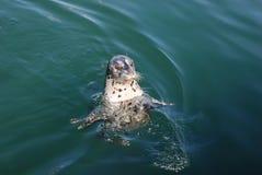 Dzika pyzata pokojowa foka pływa w górę dobra Zdjęcia Stock