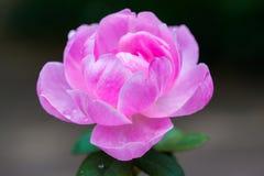 dzika róża różowego obraz stock