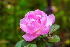 dzika róża różowego Zdjęcia Stock