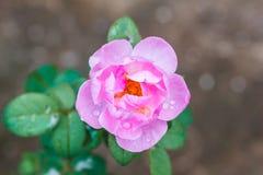 dzika róża różowego fotografia stock