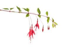 dzika różowy Obraz Stock