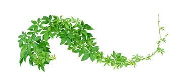 Dzika ranek chwała opuszcza tropikalnej rośliny pięcie na kręconej dżungli lianie odizolowywającej na białym tle, ścieżka zdjęcie royalty free