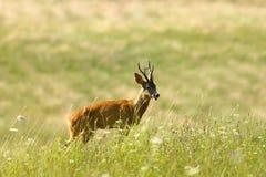Dzika roe rogacza samiec na naturalnej łące Obrazy Royalty Free