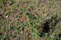Dzika Rosehip roślina w górach zdjęcie stock