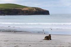 Dzika samiec Nowa Zelandia lub dziwki, Dennego lwa Phocarctos hookeri w swój naturalnym siedlisku na Nowa Zelandia ` s Otago półw Zdjęcia Royalty Free