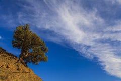 Dzika sosna w wysokich górach obraz royalty free