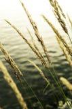 dzika trawa Zdjęcie Stock