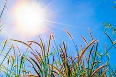 Dzika trawa kwitnie w niebieskim niebie Fotografia Royalty Free