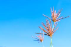 Dzika trawa kwitnie w niebieskim niebie Obrazy Royalty Free