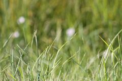Dzika trawa w Alberta Kanada Obraz Royalty Free