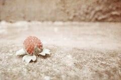 Dzika truskawka kłama na betonowej teksturze szorstkiej zdjęcia stock