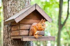 Dzika wiewiórka je w jego domu Zdjęcie Royalty Free