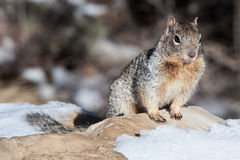 Dzika wiewiórka przy Uroczystego jaru obręczem Obrazy Royalty Free