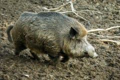 dzika świnia Obraz Royalty Free