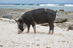 Dzika świnia na dennym brzeg Francuski Polynesia Obrazy Royalty Free