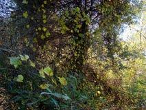 Dzika winograd jesień Fotografia Stock