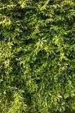 Dzika winogrono liści ściana Obraz Royalty Free