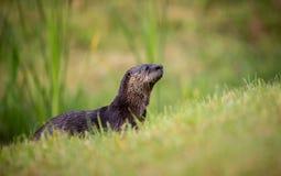 Dzika wydra w zachodnim wybrzeżu Floryda mokry po łowić Obraz Stock