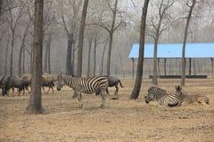 dzika zebra Fotografia Royalty Free