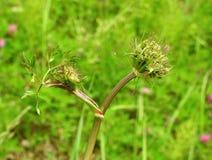 dzika zielona roślina Obraz Royalty Free