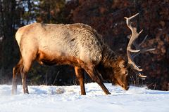 Dziki łoś lub także znać jako Wapiti Cervus canadensis w Jaspisowym parku narodowym, Alberta, Kanada obraz royalty free
