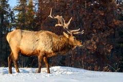 Dziki łoś lub także znać jako Wapiti Cervus canadensis w Jaspisowym parku narodowym, Alberta, Kanada zdjęcia royalty free