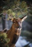 Dziki łoś Zdjęcia Royalty Free