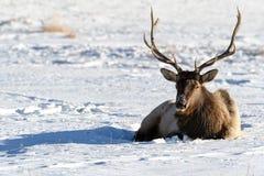 Dziki łoś lub także znać jako Wapiti Cervus canadensis w Banff Na Zdjęcia Stock