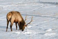 Dziki łoś lub także znać jako Wapiti Cervus canadensis w Banff Na Zdjęcie Royalty Free