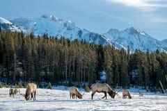 Dziki łoś lub także znać jako Wapiti Cervus canadensis w Banff Na Fotografia Royalty Free