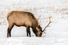 Dziki łoś lub także znać jako Wapiti Cervus canadensis w Banff Na Obrazy Royalty Free