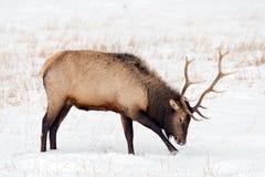 Dziki łoś lub także znać jako Wapiti Cervus canadensis w Banff Na Fotografia Stock