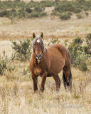 Dziki źrebak - Brumby Australia fotografia stock