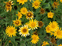 dziki, żółty Obrazy Royalty Free