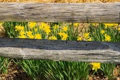 Dziki Żółty Daffodil i ogrodzenie fotografia royalty free