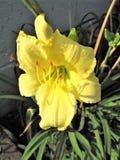 Dziki Żółty Daylily kwiat Obraz Stock