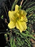 Dziki Żółty Daylily kwiat Zdjęcia Royalty Free
