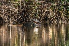 Dziki żółw w świetle słonecznym w rzece obrazy stock