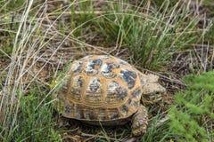 Dziki żółw w stepie w Kazachstan, Malaysary Fotografia Stock