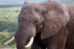 Dziki Afrykański byka słonia portret Obrazy Stock