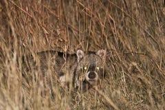 Dziki Afrykański cybet w trawie, przy nocą Obraz Stock