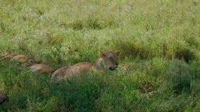 Dziki Afrykański lwicy lying on the beach na trawie w cieniu i oddycha ciężko upał zbiory wideo