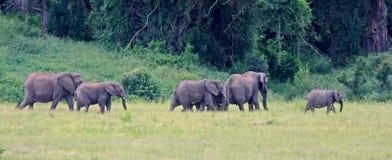 dziki afrykański słoń Fotografia Royalty Free