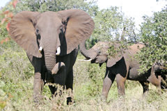 dziki afrykański słoń Obrazy Royalty Free