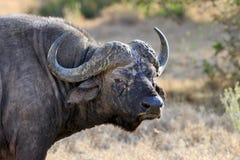 Dziki Afrykański bawoli byk Fotografia Royalty Free
