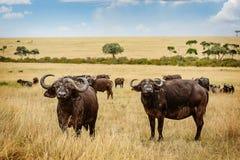Dziki Afrykański Bawoli byk w Kenja, Afryka Obraz Stock