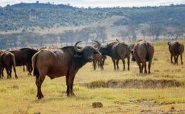 Dziki Afrykański Bawoli byk w Kenja, Afryka Obraz Royalty Free