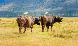 Dziki Afrykański Bawoli byk w Kenja, Afryka Zdjęcie Stock